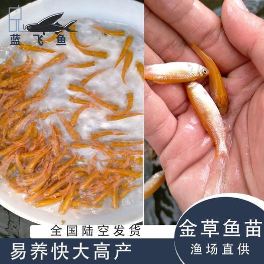 黄金鲩  金草鱼 金丝鲩鱼