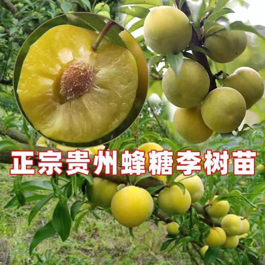 蜂糖李树苗  认准贵州原产地 三华李青脆李黄金李 耐李密脆李冰糖李等品种
