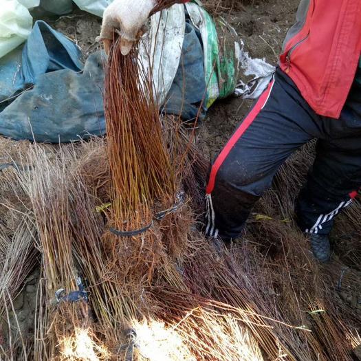 山丁子树苗 0.5米以下