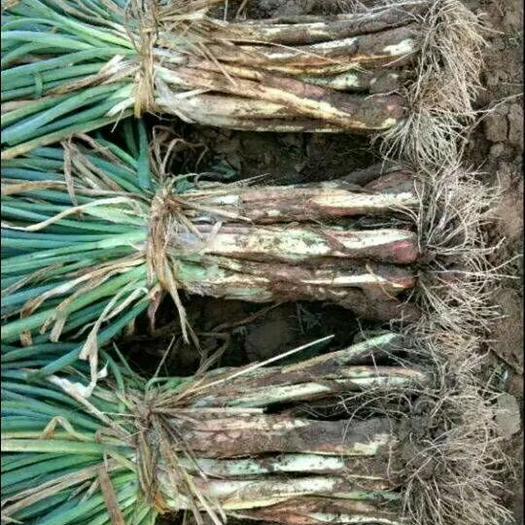 鸡腿大葱  叶子绿  杆子长 产地直销