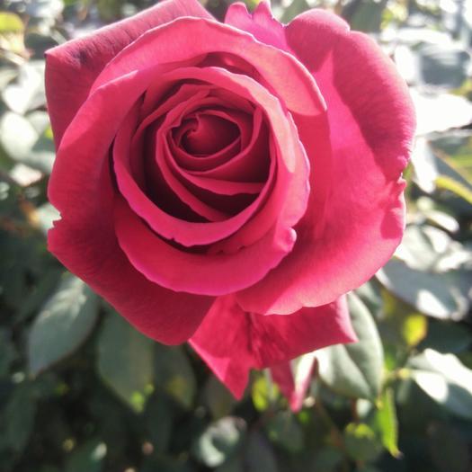 食用玫瑰  花苗 价格优惠 易活99% 基地直销 现取苗发货