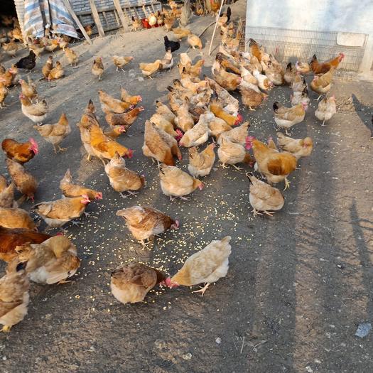 林地散养土鸡苏禽11个月老母鸡黄油黄脚