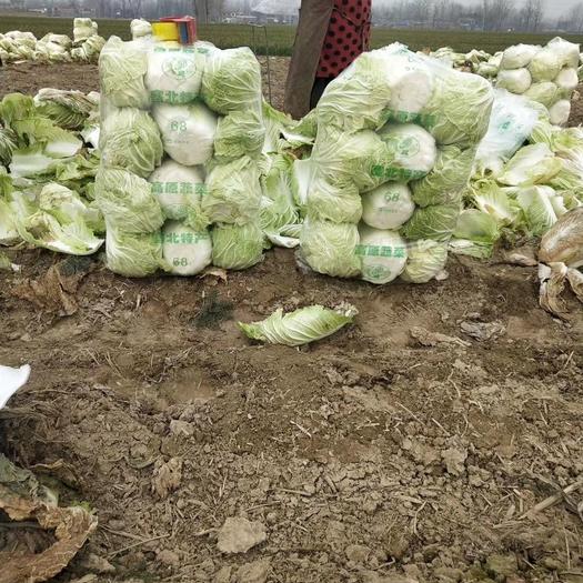 87-114白菜 6~10斤 净菜