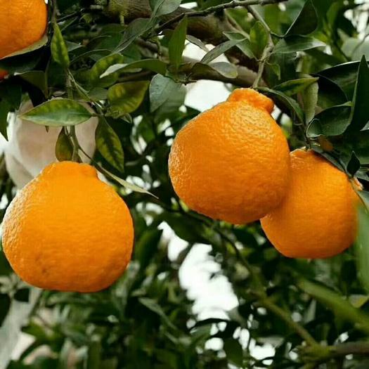 丹棱县不知火丑橘净重5斤包邮