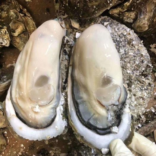 台山牡蛎 3/4个斤  新鲜肥美 脆肉实肉 烧烤首选