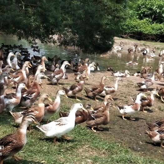 杂交鸭 5-6斤 统货 全散养