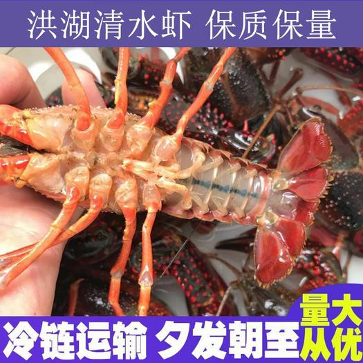湖北洪湖市小龙虾养殖基地直供鲜活小龙虾,品质保证,品种齐全