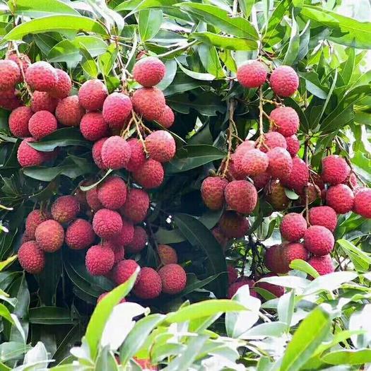 状元红荔枝  状元红,白糖罌,妃子笑,黑叶荔、禾荔、3月红等等。