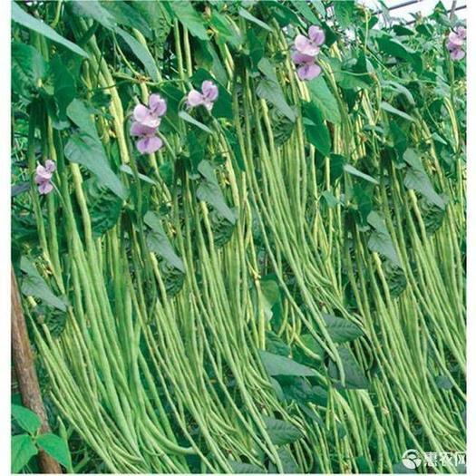 油青豆角种子绿将军豆角种抗病丰产豇豆种子