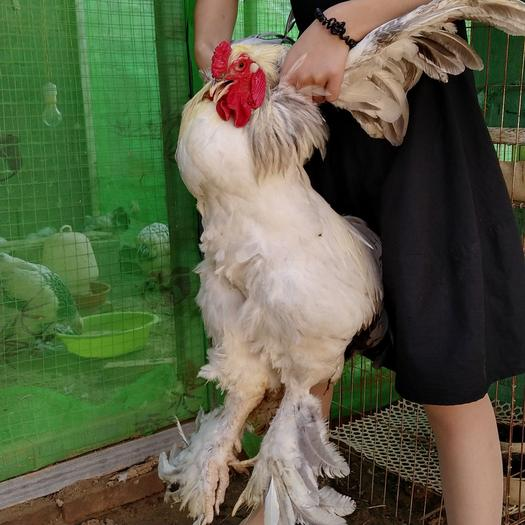 婆罗门鸡苗梵天鸡观赏鸡世界最大鸡脱温苗婆罗门鸡种蛋梵天鸡