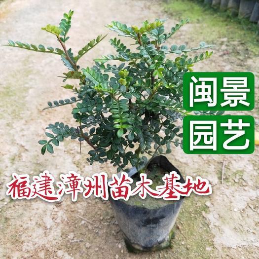 胡椒木盆栽 胡椒木