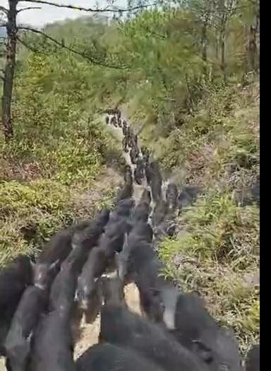 藏香猪 60斤以上
