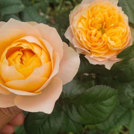 黄蝴蝶玫瑰小苗