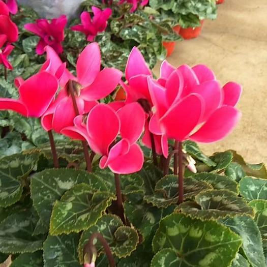 仙客來 觀花植物 多色