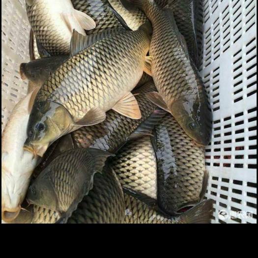 池塘鯉魚 保證質量,誠信經營