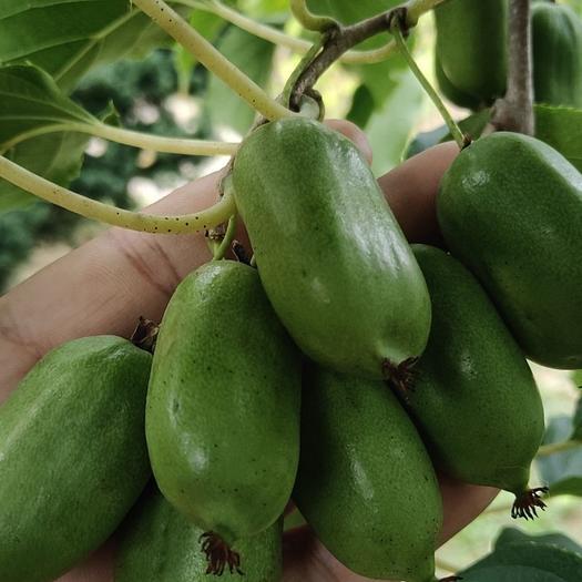 東北特產軟棗子獼猴桃,現在以成熟,歡迎對接。