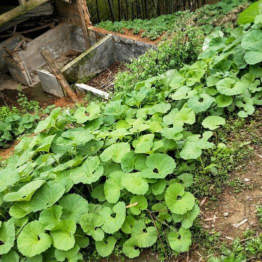 山蕗菜种子  水煮山露菜种子 农民直销