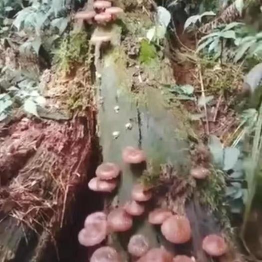 野生香菇  桂西高原深山老林枫木枯树所生 原生态 全天然