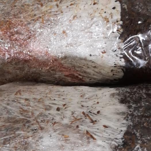 大球盖菇菌种  ,赤松茸三级栽培种