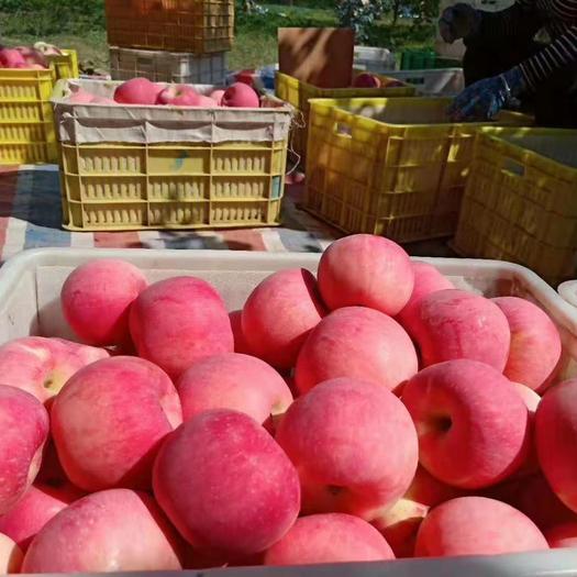 [洛川农民扶贫项目]陕西高原洛川纸袋红富苹果脆甜口感红富士