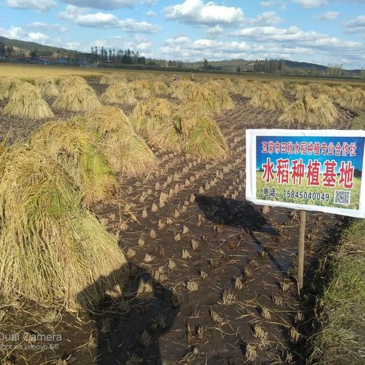 粳稻谷  五常稻花香稻谷,鮮米機專用(五常稻花香二號)種植基地直供貨源