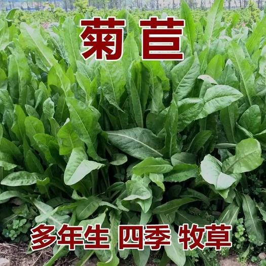 菊苣种子 菊苣种籽 牧草种子 猪羊牛兔鸡鸭鹅多年生四季高产养殖鱼草种籽