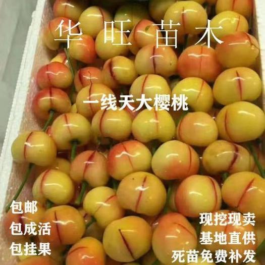 一线天樱桃树苗 一线天  最火爆的新品种  个头大 甜度高 耐储存