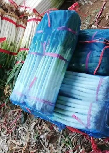 日本钢葱  新野卫敏精品剛蔥粗细分拣代加工净葱