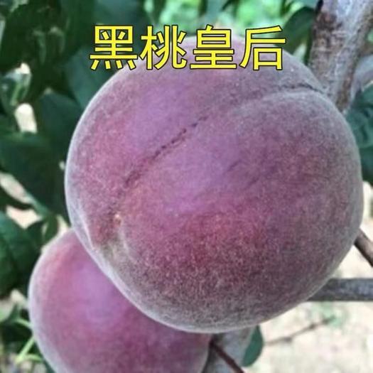 黑桃苗  黑桃树苗嫁接苗中晚熟新品种 南北方种植 当年结果
