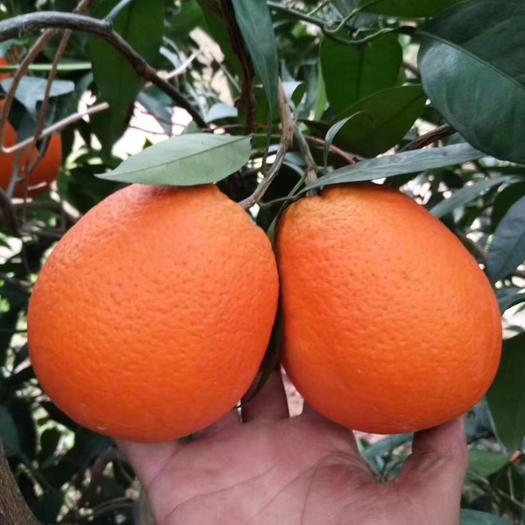 福本脐橙 统货