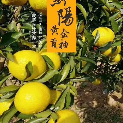 【爆款热销】黄金丑八怪 黄金贡柚 纯甜多汁