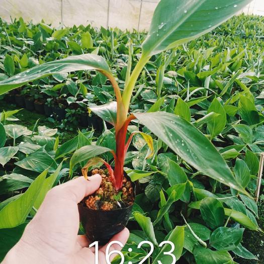 威廉斯香蕉苗  香蕉苗,粉蕉苗,红蕉苗,品种优良,价钱优惠,欢迎各位老板订购