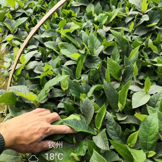 五指毛桃 种苗,大量批发供应,未来发展致富的趋势!