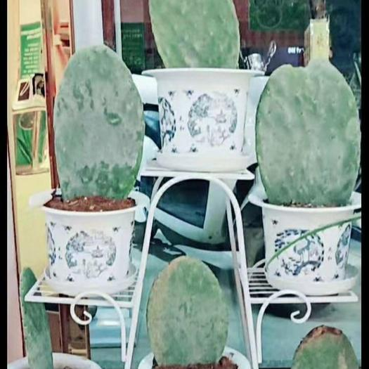 仙人掌苗 低价出售墨西哥米邦塔食用仙人掌种片