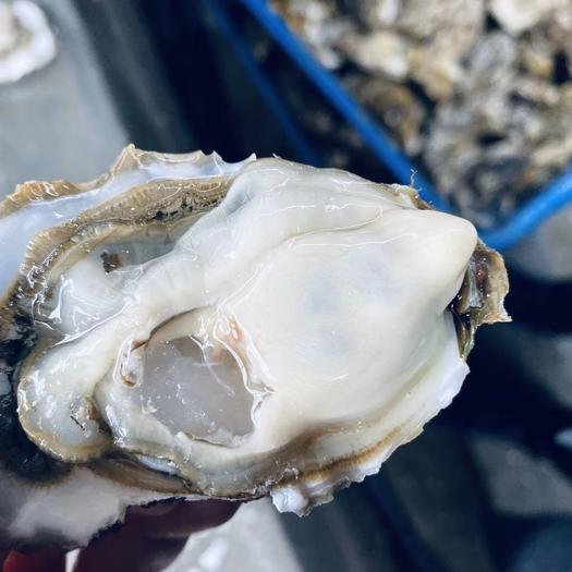 乳山牡蛎  【一件代发】乳山精品生蚝,显个,满肉,服务至上,乳山直发全国