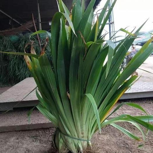 鸢尾 深山鸢尾 四季常青庭院绿化工程用苗