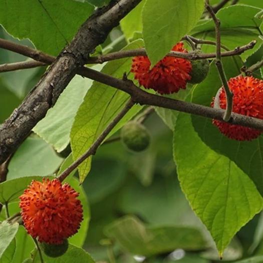 构树种子 构桃树 构乳树 楮树 楮实子 沙纸树假杨梅