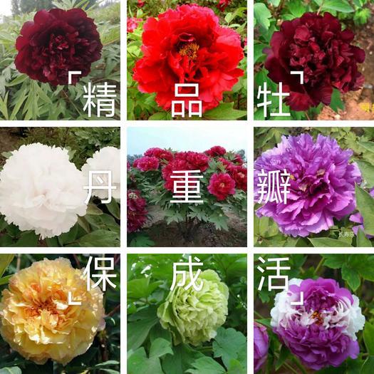 金阁牡丹  牡丹,精品观赏牡丹,多层花,保品种,保成活,现要现,欢迎采