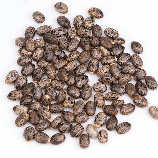 蓖麻  青子颗粒均匀 冷背品种 药用非种子包邮