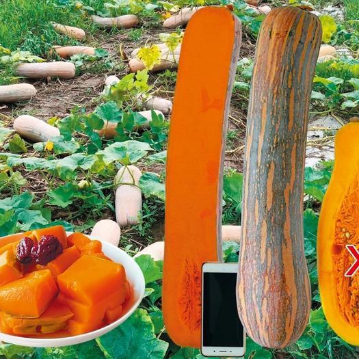 健美蜜本南瓜种子,高产早熟,粉糯香甜,长棒形南瓜