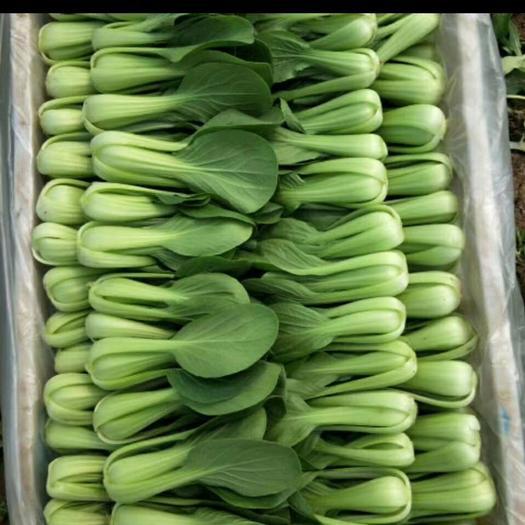 山东曹县精品上海青小白菜种植基地,产地直销