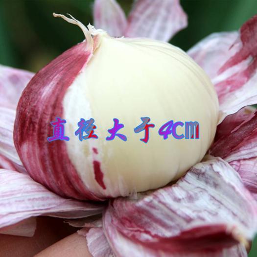 独头蒜  2021年大理新鲜紫皮独头鲜蒜直径4厘米以上