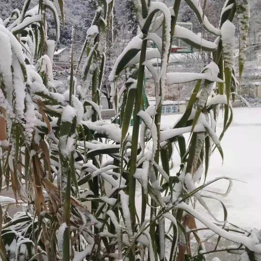全光照培育绿洲一号牧草老苗零下25度可安全越冬