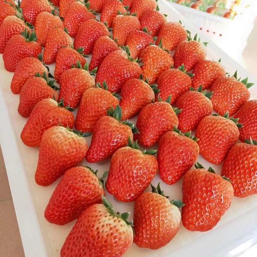 红颜草莓苗  红颜/丹东九九优选草莓苗 全程提供技术支持 支持在线交易