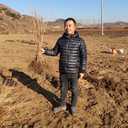 榛子苗  東北鐵嶺榛子苗 適合荒山綠化 退耕還林等土地貧瘠地區經濟種