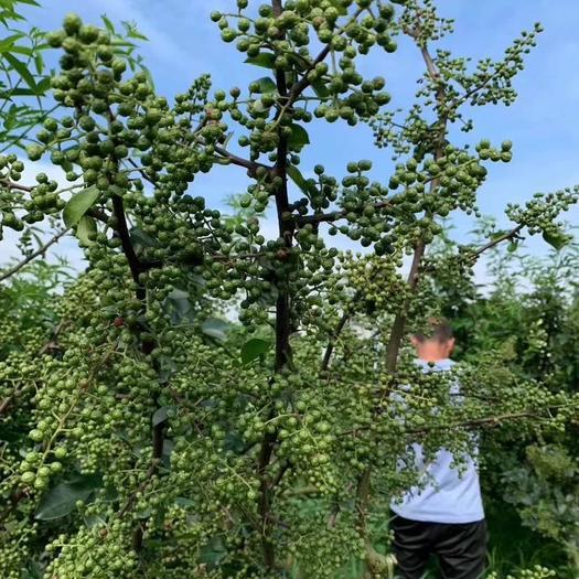 九叶青花椒苗  九叶青花椒是重庆地理标志产品,麻味浓郁,香气扑鼻,简称百里香