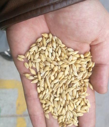 大麥做酒,發芽大麥,做