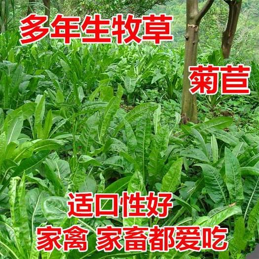 菊苣种子  大叶高产抗寒四季牧草种子大叶将军新种子包邮
