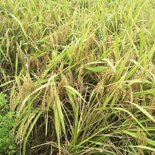 有机米 本基地种植无公害农产品,请记住商标(鲫果蔓山)