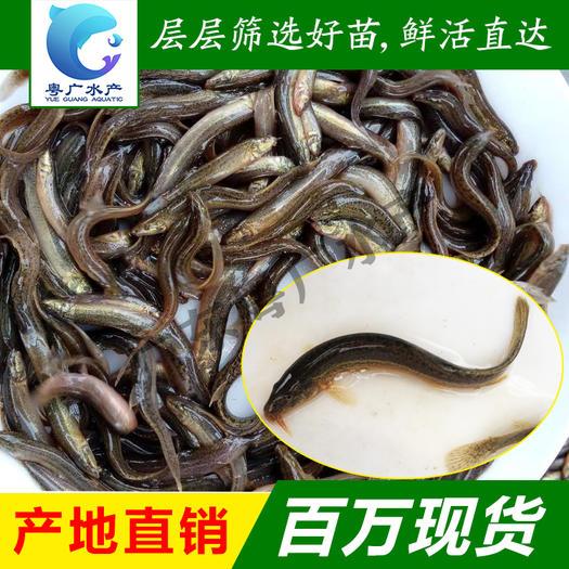 泥鳅苗 台湾泥鳅苗 送货上门3至5厘米基地直销包邮发货